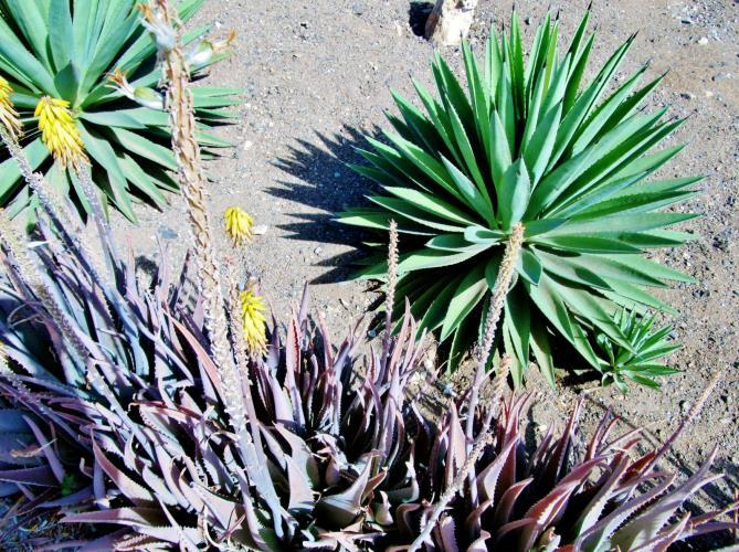 Kaapverdie Bohalista Cactus